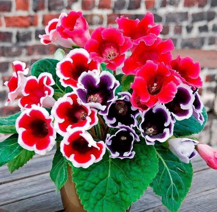Цветок «Глоксиния»: фото, уход и выращивание в домашних условиях