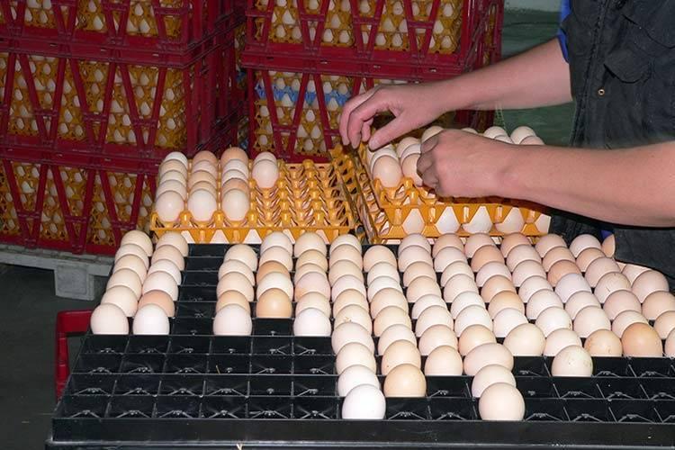 Подготавливаем яйца перед закладкой в инкубатор