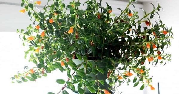 """Гипоцирта. декоративное растение с яркими цветочками – """"рыбками"""""""