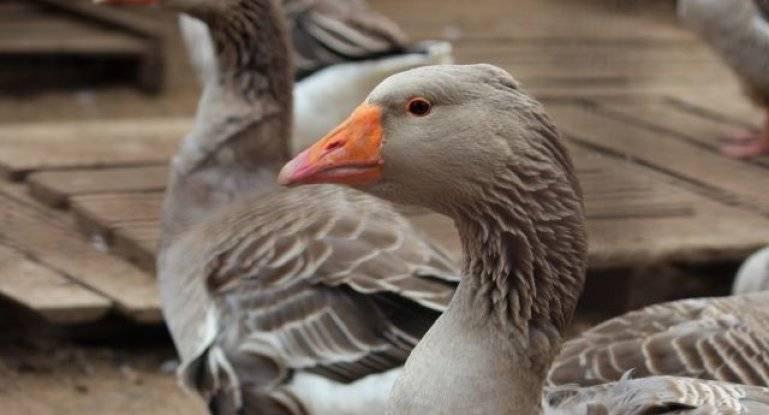 Серый гусь: фото, виды, питание, размножение, особенности