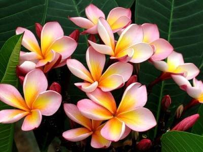 Плюмерия домашняя - фото цветка, уход, выращивание из семян в домашних условиях