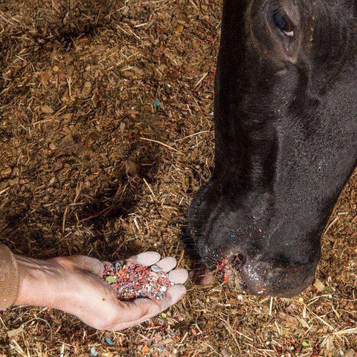 Глисты у коров — симптомы, лечение и профилактика