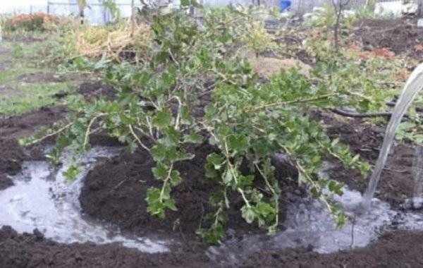 Крыжовник: выращивание, посадка и уход в открытом грунте