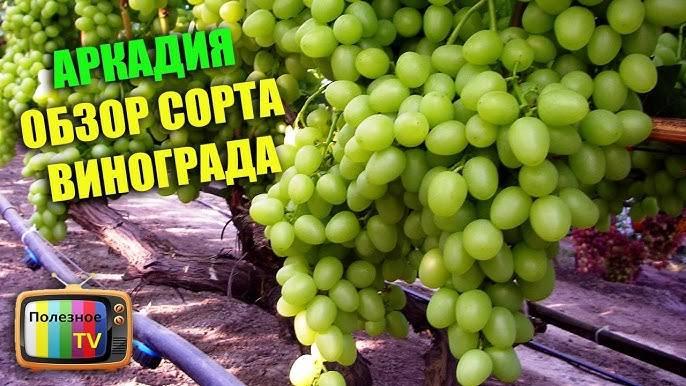 Обзор винограда сорта аркадия: основные характеристики и нюансы агротехники