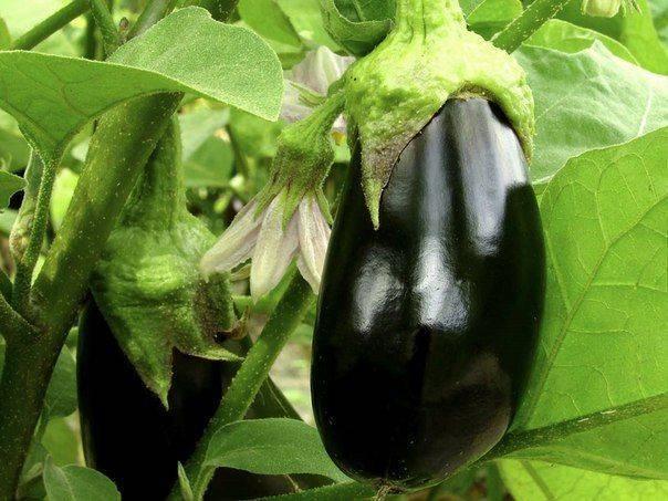 Чем подкормить баклажаны для хорошего урожая