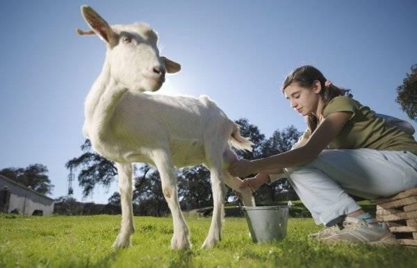 У козы после окота нет молока: причины