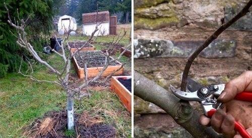 Обрезка инжира осенью — огород и прочее