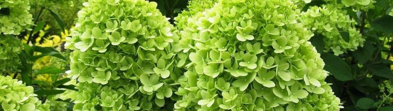 Как правильно посадить и вырастить метельчатую гортензию лаймлайт на даче