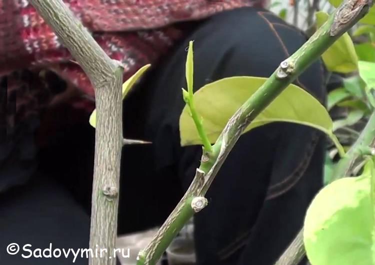 Как привить лимон в домашних условиях, чтобы он плодоносил: метод копулировки, окулировка, вприклад, уход за растением после процедуры