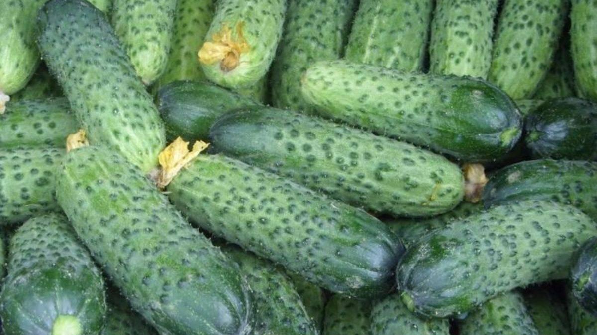 Огурцы «эстафета f1»: урожайность и устойчивость к болезням