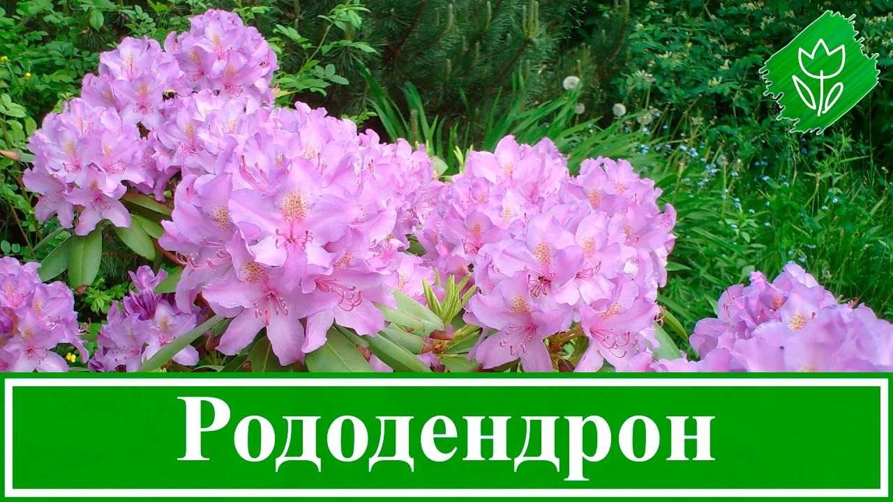 Особенности выращивания и уход за рододендроном