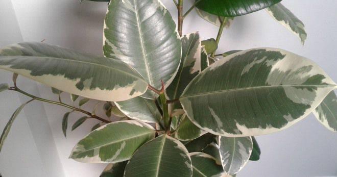 Разновидности фикусов - 140 фото и видео инструкция по уходу за комнатными растениями