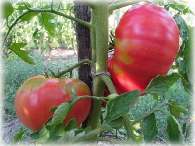 Сорт томатов розовый мед