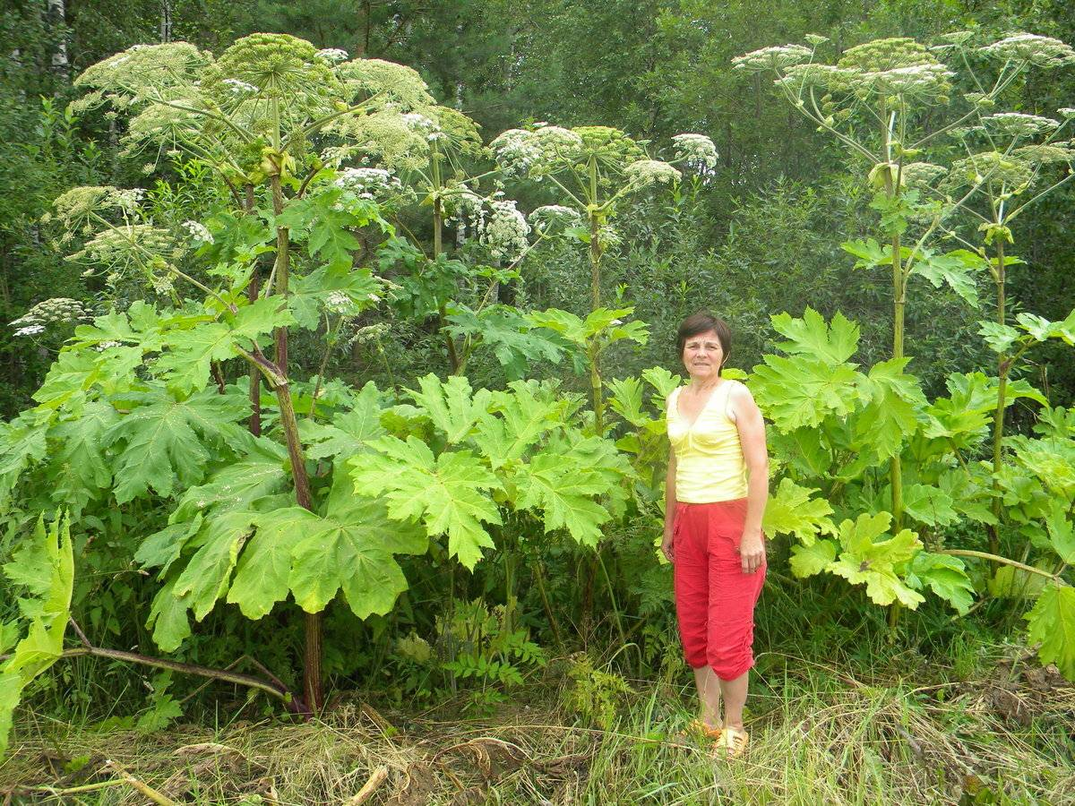 Борщевик - лечебные свойства и противопоказания, фото, виды