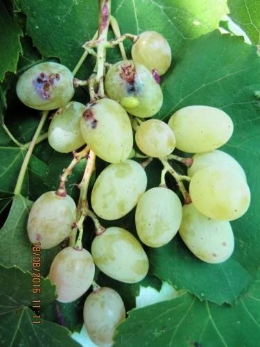 Гроздевая листовертка на винограде: методы борьбы и средства профилактики
