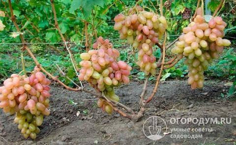 Виноград тимур: описание сортов, фото, отзывы
