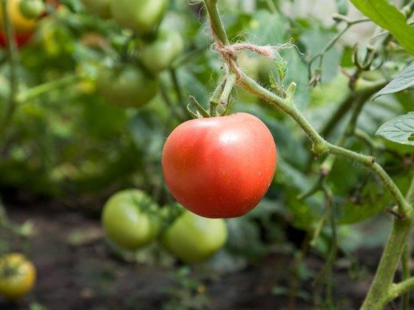 Томат малиновка: характеристика и описание сорта, урожайность с фото