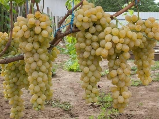Виноград дружба описание сорта с фото, посадка и уход, отзывы