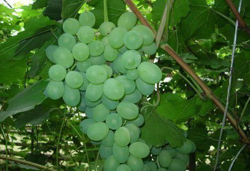 Сорт винограда лора: обзор
