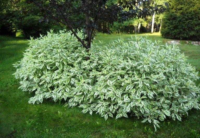 Элегантная простота в вашем саду — дерен белый Элегантиссима