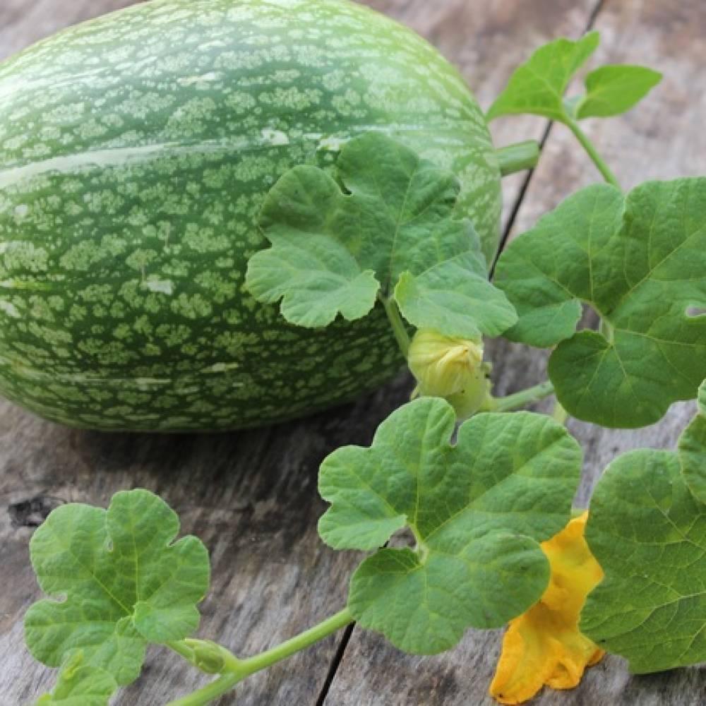 Фиголистная тыква: выращивание, уход, полезные свойства - огород | описание, советы, отзывы, фото и видео