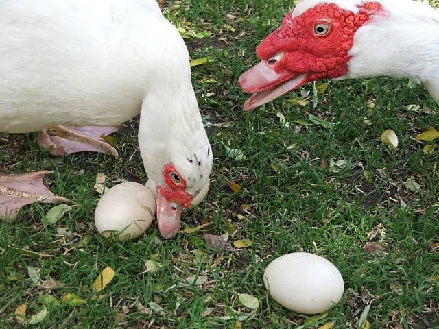 Начало яйценкости индоутки