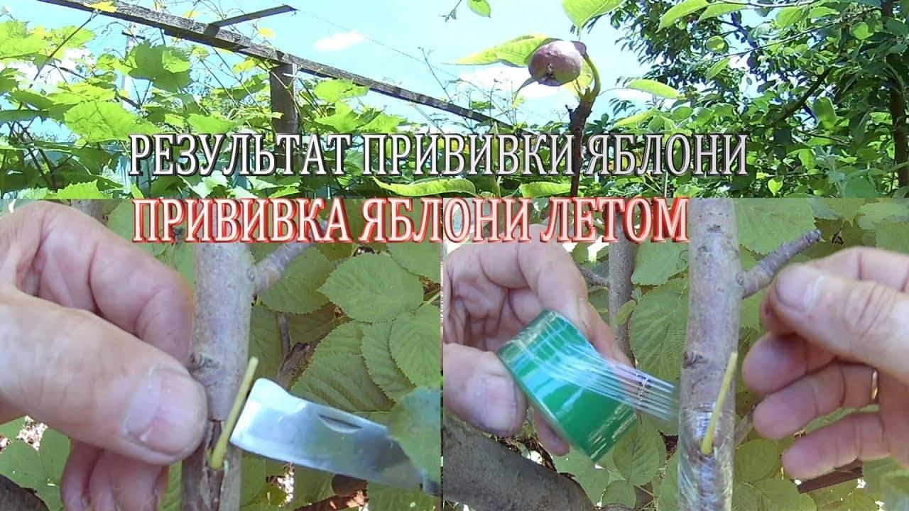 Прививка яблони весной для начинающих - сроки, виды и инструкции