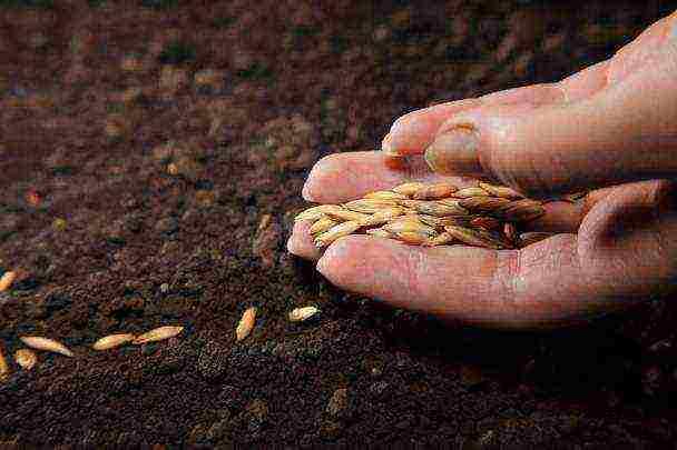 Обработка семян огурцов перед посадкой: нужно ли замачивать, как это делать