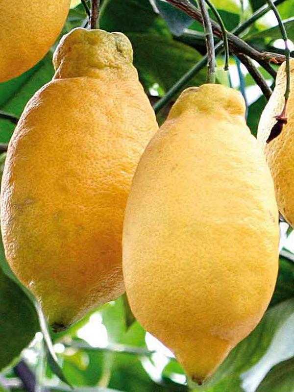 Сорт лимона лунарио: фото, отзывы, описание, характеристики.