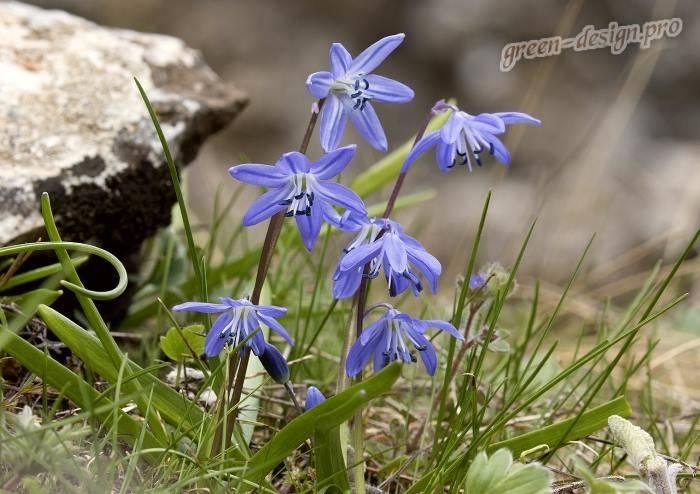 Цветок долихос: вьющаяся сирень, лиана, фото, посадка и уход, выращивание из семян