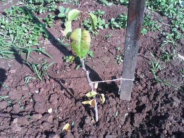 Как правильно посадить грушу осенью, весной: выращивание и уход