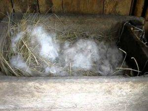 Почему крольчиха рвёт пух - агро эксперт