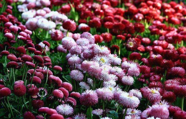 Маргаритки многолетние и однолетние, посадка семенами и уход - с фото