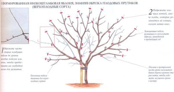 Обрезка яблони весной: сроки, схема для начинающих как правильно ее делать