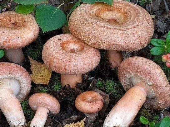Волнушка гриб: фото, описание и как готовить