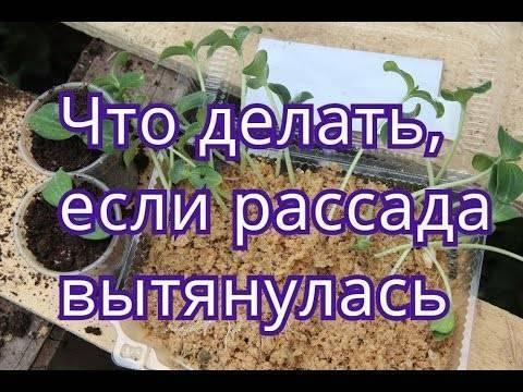 Что делать, если вытягивается рассада помидоров, огурцов, перцев,и других культур