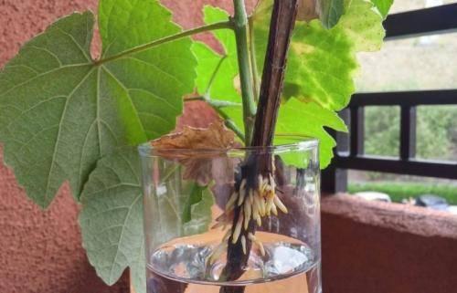 Заготовка черенков винограда осенью и хранение их зимой