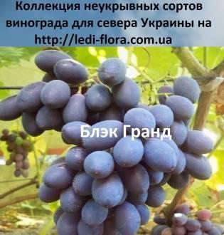 Виноград сорта блек гранд - дача мечты