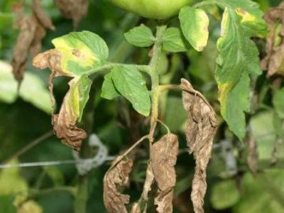 Фитофтора на помидорах: как бороться, видео и фото