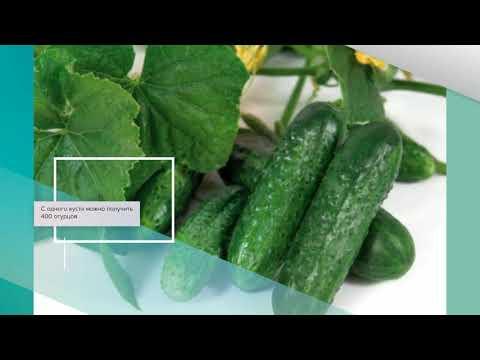 Описание сорта огурцов всем на зависть, особенности выращивания и ухода