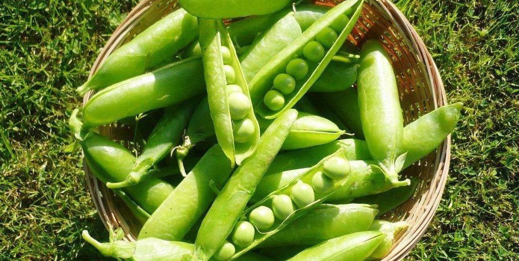 Как посадить и вырастить горох дома в открытый грунт и с какими культурами
