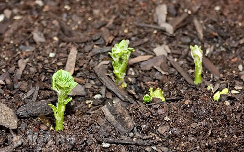 Выращивание картофеля из семян в домашних условиях: агротехника посадки и ухода