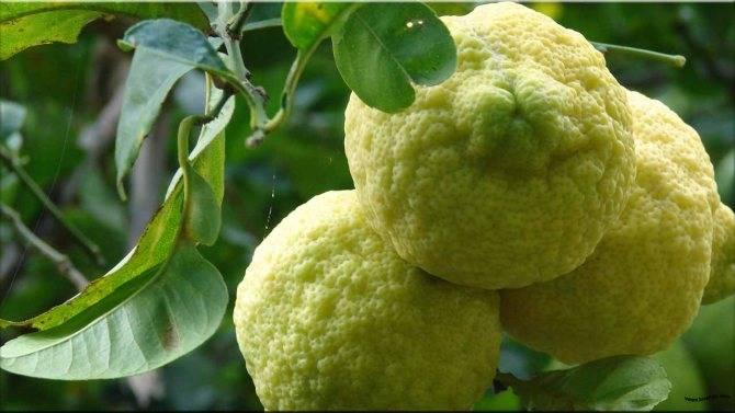 Лимон лунарио: уход в домашних условиях, описание сорта