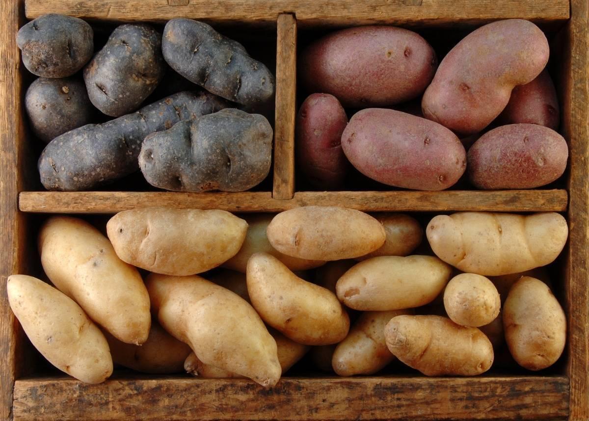 Самый урожайный сорт картофеля для средней полосы