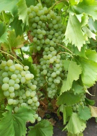 Синий виноград: польза и вред для организма