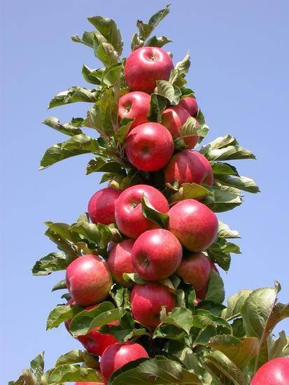 Описание колоновидных яблонь: их посадка и уход, советы по выращиванию деревьев, сорта, их достоинства и недостатки с фото и видео