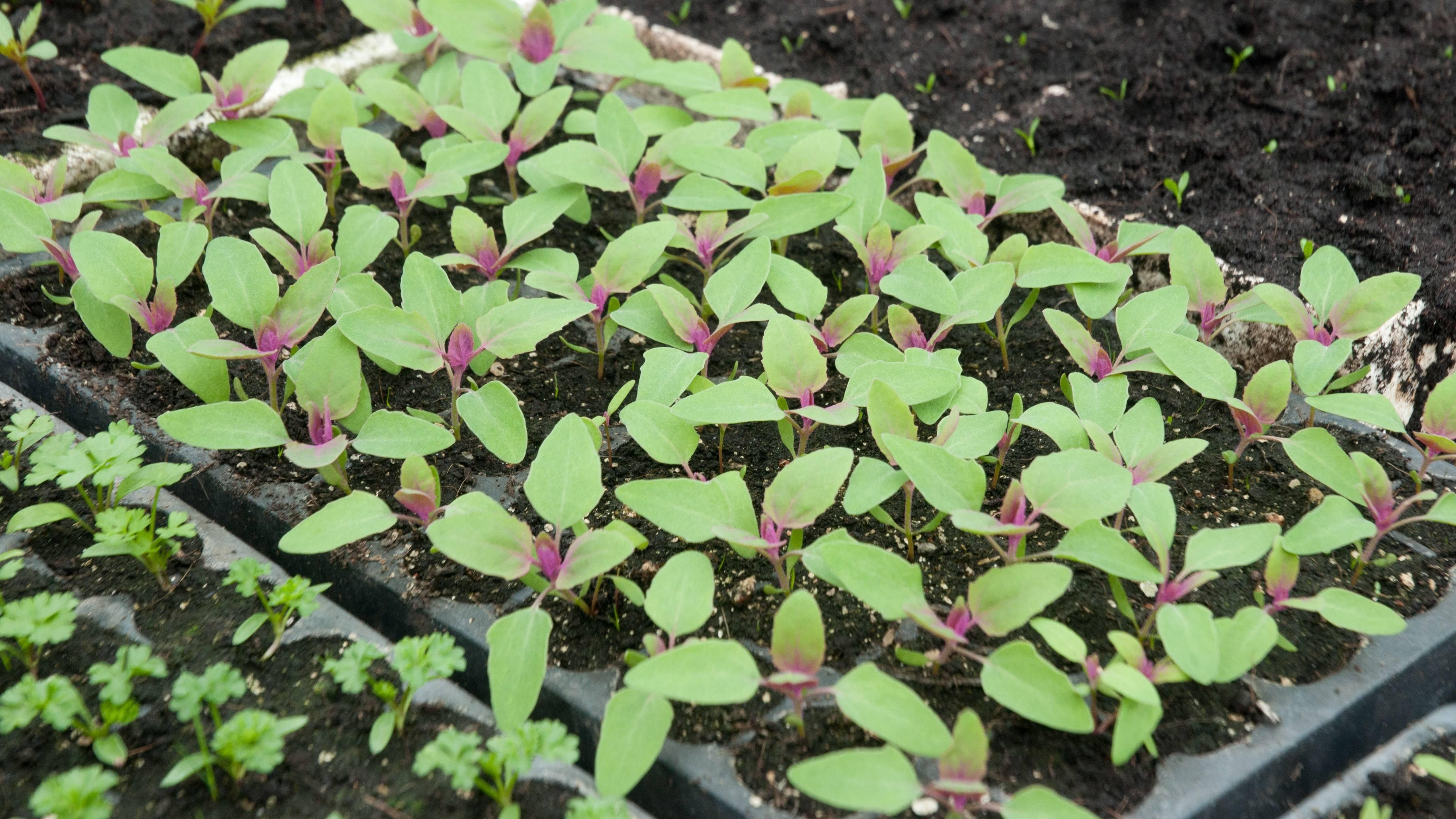 Выращивание земляничного шпината из семян