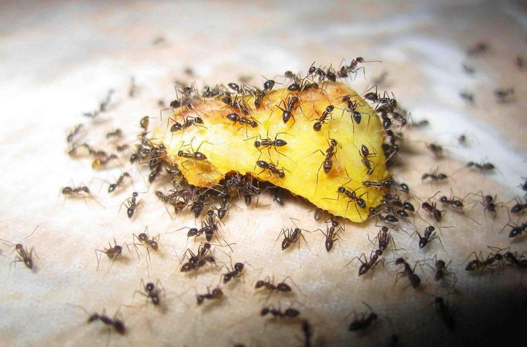 Что делать если в теплице завелись муравьи?