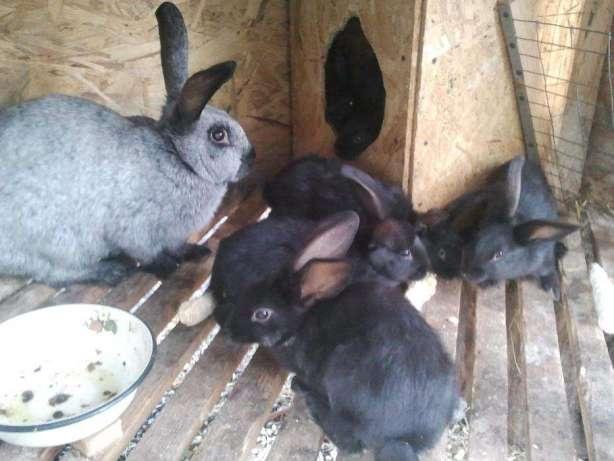 Мокрая мордочка у кроликов: симптомы и лечение мокреца