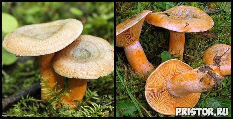 Рыжики — королевские грибы с хвойным привкусом